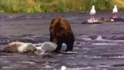 Brown Bear.wmv