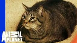Nugget The Fat Cat {Animal Planet}