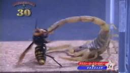 Japanese Bug Fights: Deathstalker vs. Japanese Giant Hornet (S01E02)
