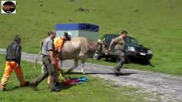 Cow flown by helicopter in Switzerland during cattle march