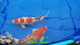 most mature fish - BKKS National Koi Show 2019