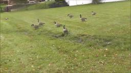 CANADIAN GEESE AT NEWTON LAKE PARK