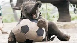 Random video Thailand elephants play soccer