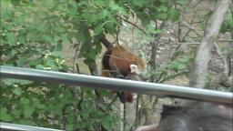RED PANDA AT THE ZOO
