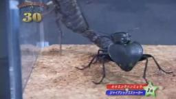 Japanese Bug Fights: Manticora Tiger Beetle vs. Giant Deathstalker Scorpion (S01E03)