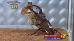 Japanese Bug Fights: Tokara Stag Beetle vs. Yellow Forest Scorpion (S01E30)
