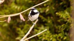 Coal tit - Tannenmeise 🍂🍂