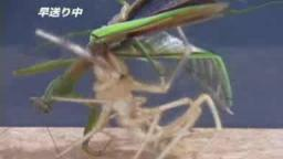 Japanese Bug Fights: Camel Spider vs. Praying Mantis (S01E06)
