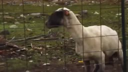 Cabra Gritona (Screaming Goat)