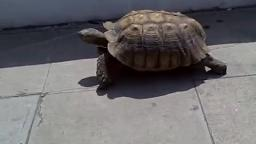 Yurtle the Turtle Live Action