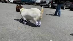 Touching moment Anna the goat walks with four prosthetic legs