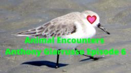 Animal Encounters Anthony Giarrusso Episode 6 Sandpiper Footage