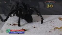 Japanese Bug Fights: Deathstalker vs. Thailand Black Tarantula (S01E17)