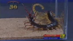 Japanese Bug Fights: Vietnam Giant Centipede vs. Deathstalker Scorpion (S01E29)