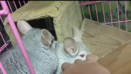 OMG!!! 2 Cute chinchillas!