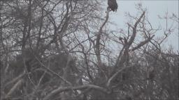 A BALD EAGLE IN SUFFOLK COUNTY