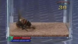 Japanese Bug Fights: Japanese Giant Hornet vs. Israeli Golden Scorpion (S01E15)
