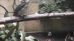 KOOKABURRAS AT THE ZOO