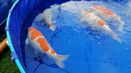 Grand and jumbo share a vat again - BKKS National Koi Show 2019