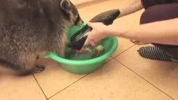 Raccoon plays with water