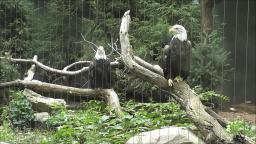 BALD EAGLES AND OTHER BIRDS OF PREY