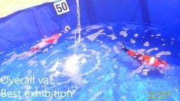 Vat of the show?  This is vat of the decade - BKKS National Koi Show 2018